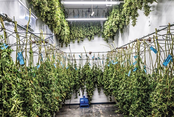 Challenges with Cannabis Drying Rooms