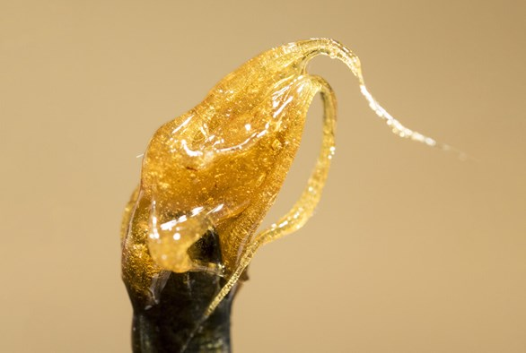 Solvent-free Extracts and Concentrates