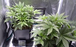 Two cannabis plants growing inside a grow tent.