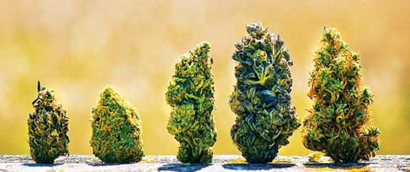 Photo of various cannabis buds lined up together.