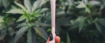 Woman's hand holding cannabis joint in front of marijuana plants.