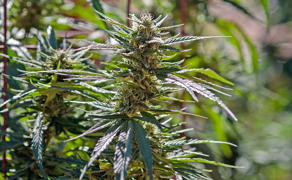 Flowering cannabis plant growing outdoors in the sun.