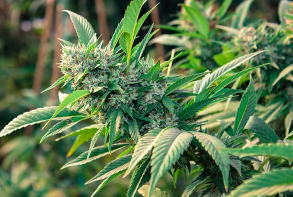 The 14 Best Autoflowering Cannabis Strains for Outdoor Growers