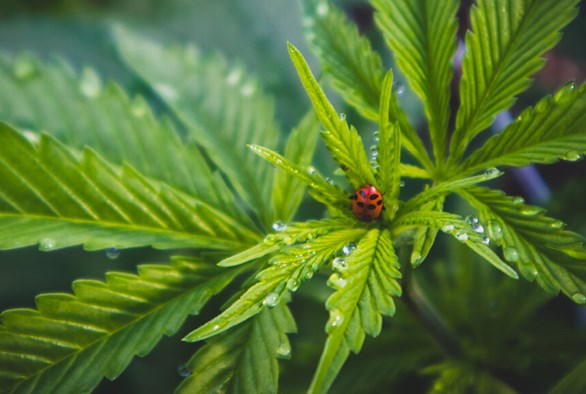 The Best Pest Control for Growing Cannabis