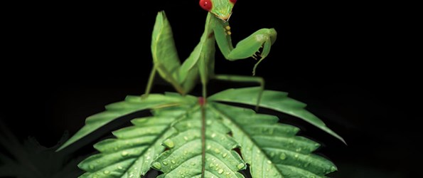Praying mantis on top of a cannabis plant