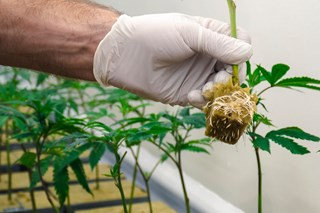 Strengthening the Roots of Your Cannabis Plants