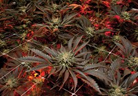 Benefits, Yields, and Different Ways of Growing Cannabis