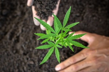 How to Transplant and Harden Off Cannabis Plants for Outdoor Growing