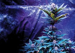 Cannabis plant growing inside a grow tent.