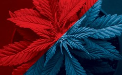 Cannabis plant with a red and blue colour overlay.