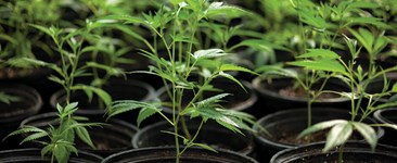 Starting Off Right: Feeding Cannabis in the Vegetative Stage