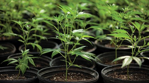 A key to growing huge, robust cannabis buds is paying careful attention to the plants' growth during the vegetative phase.