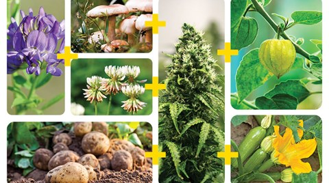 Planting companion plants for your cannabis can really help with the health of your prized buds by fixing nitrogen, deterring pests, and...