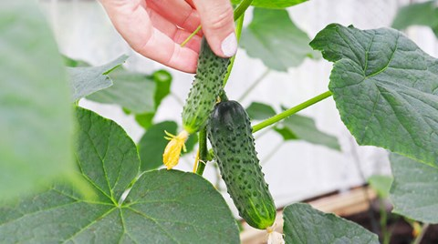 Here is a guide to growing the best cucumbers you have ever tasted using the hydroponic method.