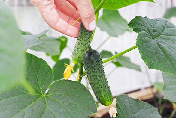 Cultivating Hydroponic Cucumbers