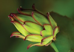 Hydroponic How-to: Dragon Fruit