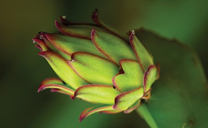 Hydroponic How To Dragon Fruit