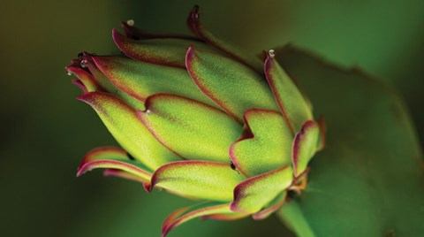 Colorful, healthy, delicious, and well-suited to thrive in a hydroponic setup, dragon fruit are quickly becoming popular among indoor...