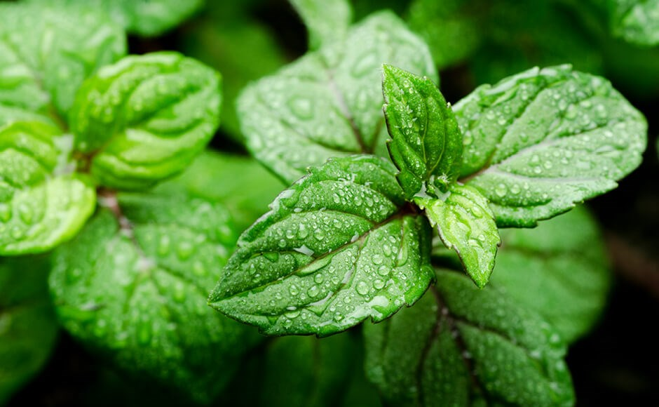Photo of a mint plant covered in water droplets from humidity.