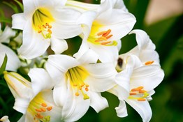 The Best Hydroponic Systems for Lily Production