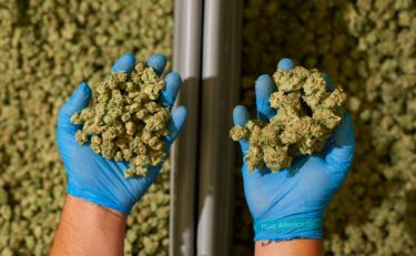 Cannabis Sorters: Maximizing the Value of Your Crop