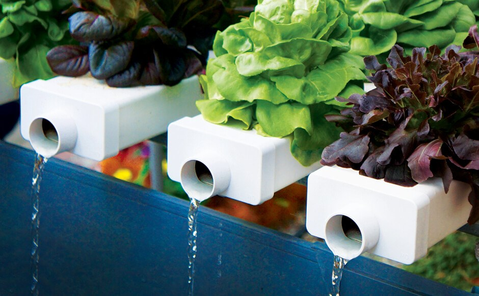 Lettuce plants growing in a hydroponic system.