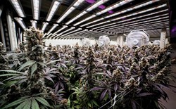 Flowering cannabis plant growing in a facility under LED grow lights