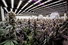 Record-Breaking Cannabis Yields with LED Lights: Harvest at The Grove