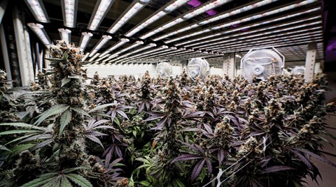 When word got around about how well Fohse's LED cannabis grow lights work, folks at The Grove in Nevada took notice.