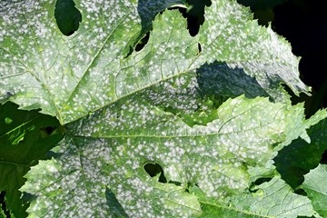 What To Do About Powdery Mildew