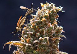 Fungus gnat on top of a flowering cannabis plant.