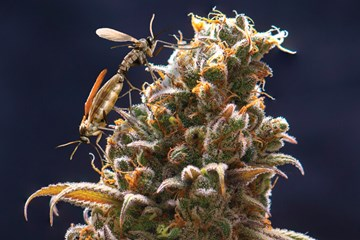 How to Prevent and Control Fungus Gnats In Your Cannabis Growroom