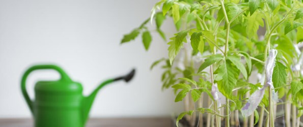 Indoor tomato garden with a watering can in the background.