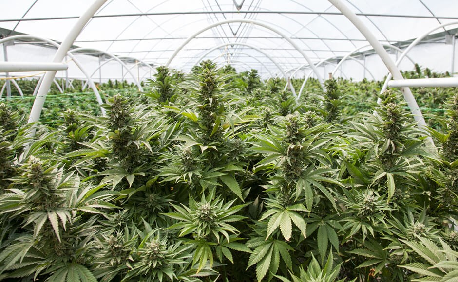 Cannabis growing inside a greenhouse.