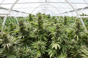 Grindo: Indoor Quality, Outdoor Quantity, Greenhouse Grown