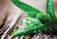 Amazing Aloe: Grow Your Own and Beat the Burn