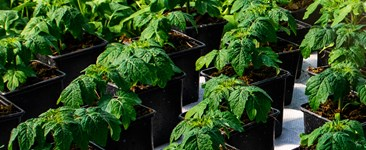 Photo of sunlit tomato plants in a growroom.