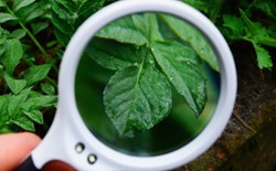 Grower observing a leaf through a round magnifier loupe.