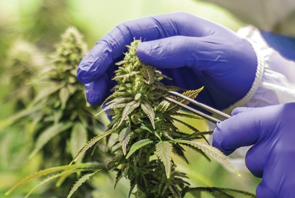 Four Expert Tips for Rookie Cannabis Growers