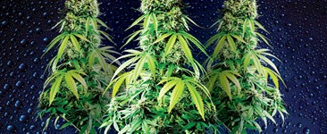 Cannabis plants in fabric pots