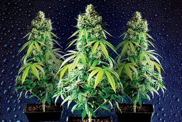 Indoor vs. Outdoor vs. Greenhouse Cannabis Cultivation