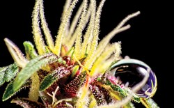 Macro shot of cannabis pistils and trichomes.