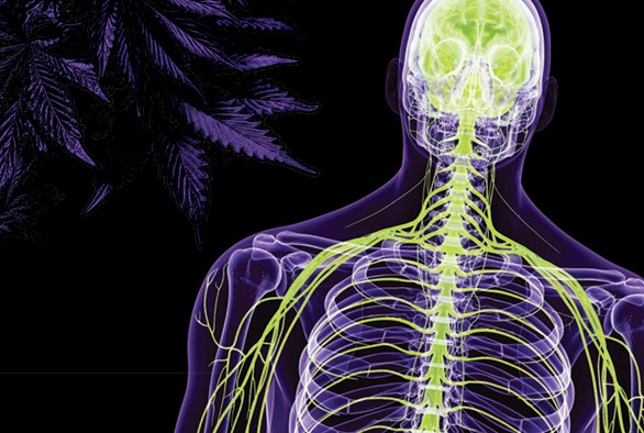 The Effects of CBD on the Endocannabinoid System