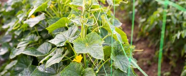 Cucumber plants growing up trellis netting.