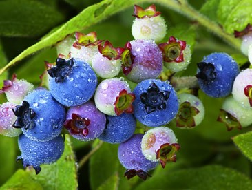 Hydroponically grow blueberries.