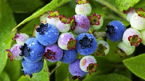 While hydroponic strawberries are not an uncommon crop and are relatively easy to grow, hydroponic blueberries, cranberries, and...