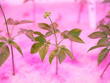 Ginseng growing hydroponically