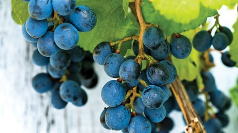 Like many fruiting plants, grapes respond well to the controlled nutrition and climatic advantages of protected cultivation and produce...