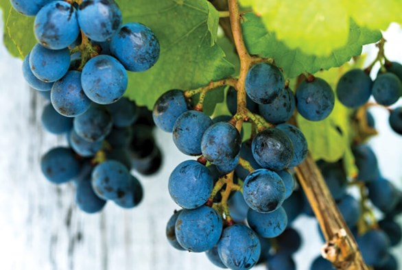 The Art of Growing Hydroponic Grapes