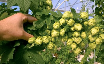 The Art of Harvesting Hydro Hops
